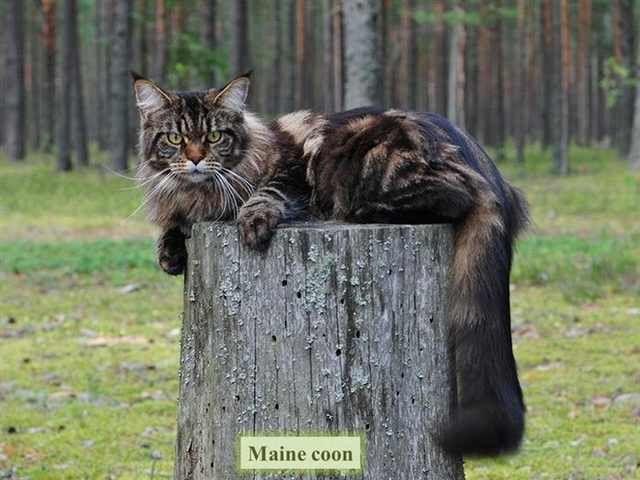 cat breeds/ Maine coon