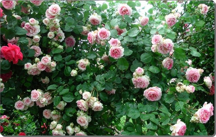 pnące róże Cesar