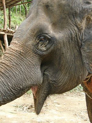 Éléphant à Koh Lanta (Thaïlande)