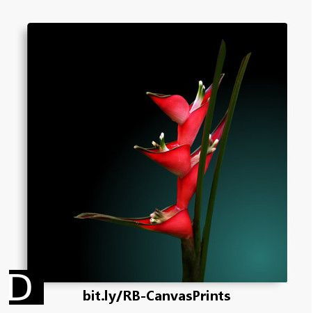 Beauty in simplicity. This striking canvas print features brilliant red Heliconia strict flowers against a green gradient background. https://www.redbubble.com/people/debidalio/works/12042458-heliconia-stricta?p=canvas-print #StudioDalio fine art floral photography home decor decorating wallart Redbubble