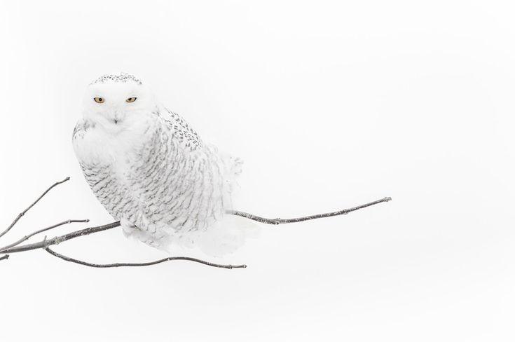 Gufo delle nevi, Canada, 2006 © Vincent Munier