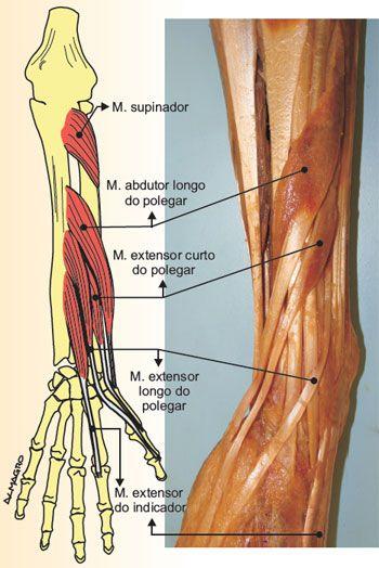 ANATOMIA -SISTEMA MUSCULAR HUMANO    Músculos     São estruturas individualizadas que cruzam uma ou mais articulações e pela sua contraçã...