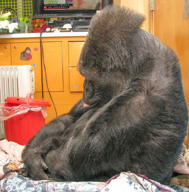 """Koko became very somber, with her head bowed and her lip quivering."" 