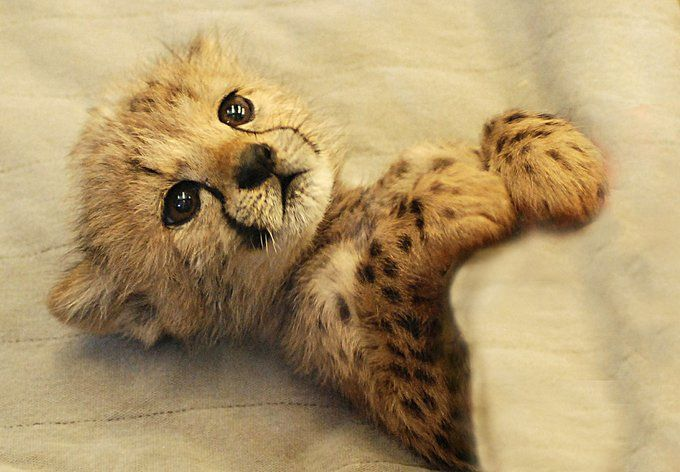 """ Cheetah cub ! I absolutely adore these cats ! """