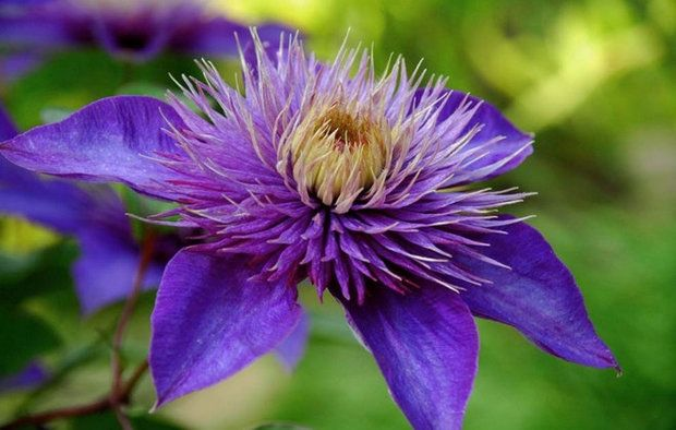 Выбираем синие цветы для дачной клумбы