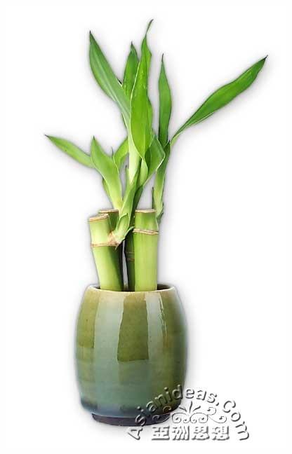 Mini Bamboo Plant : Best images about lucky bamboo plants on pinterest