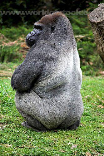 silverback gorilla: gorilla, ivan, iván, silverback | Glogster EDU - 21st century multimedia tool for educators, teachers and students