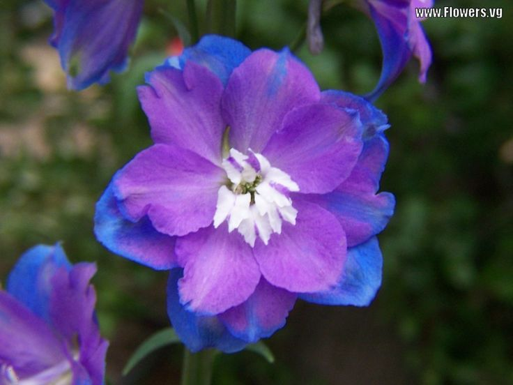 30 Best Blue And Purple Images On Pinterest Colors Pretty Flowers