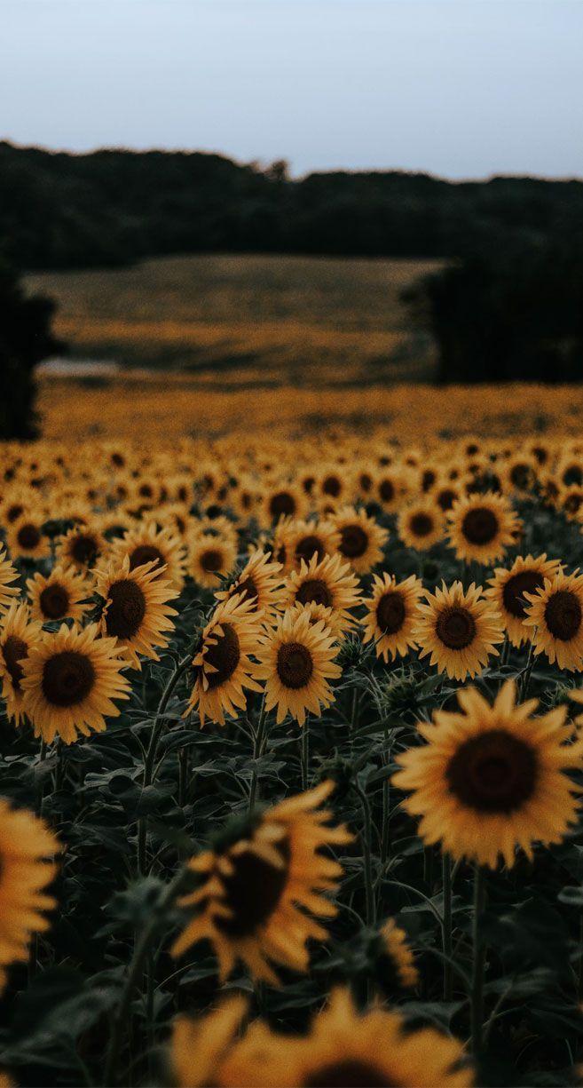 papel de parede do iphone45 Beautiful flower iphone wallpaper ideas, Beautiful field of sunfl...