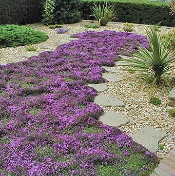thyme lawn in bloom Now this is for me. I love pebbles and cobbles but my poor feet don't.