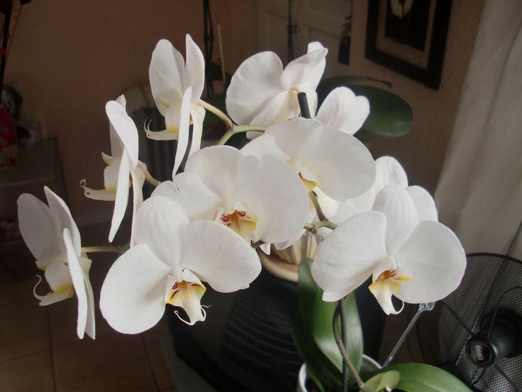 Orchids in my home