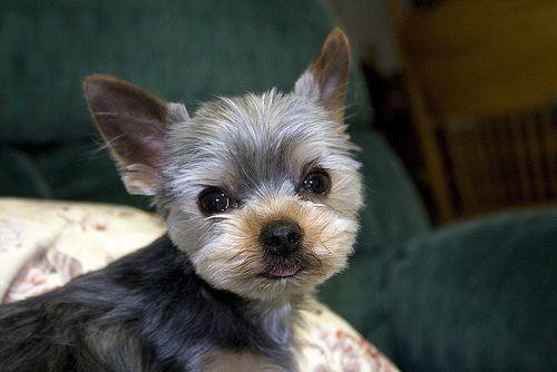 Yorkie Hairstyles: Best 25+ Pomeranian Husky Full Grown Ideas On Pinterest