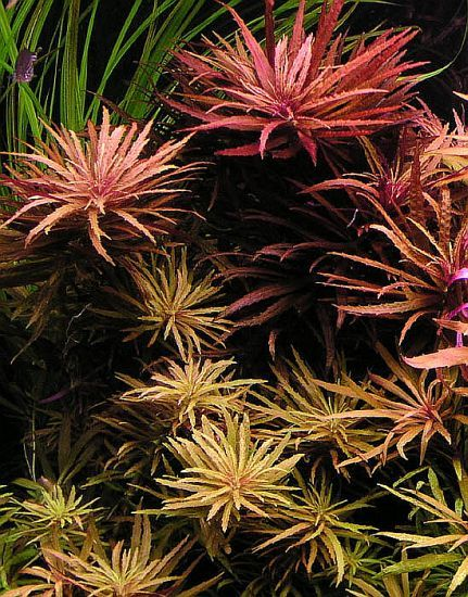 LIMNOPHILA AROMATICA  Hardiness: Moderate  Light Needs: High  Plant Structure: Stem  Family: Plantaganaceae  Genus: Limnophila  Region: Asia  Location: Southeast Asia  Size: Stem width: 5-8cm (2-3in)  Growth Rate: Fast  Can Be Grown Emersed: Yes