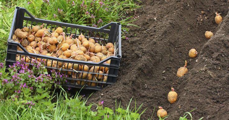 Über 50 Kilogramm Kartoffeln konsumiert der Deutsche im Durchschnitt pro Jahr. Umso schöner, wenn ein Teil davon aus dem eignen Garten stammt. So pflanzen und ernten Sie Kartoffeln richtig.