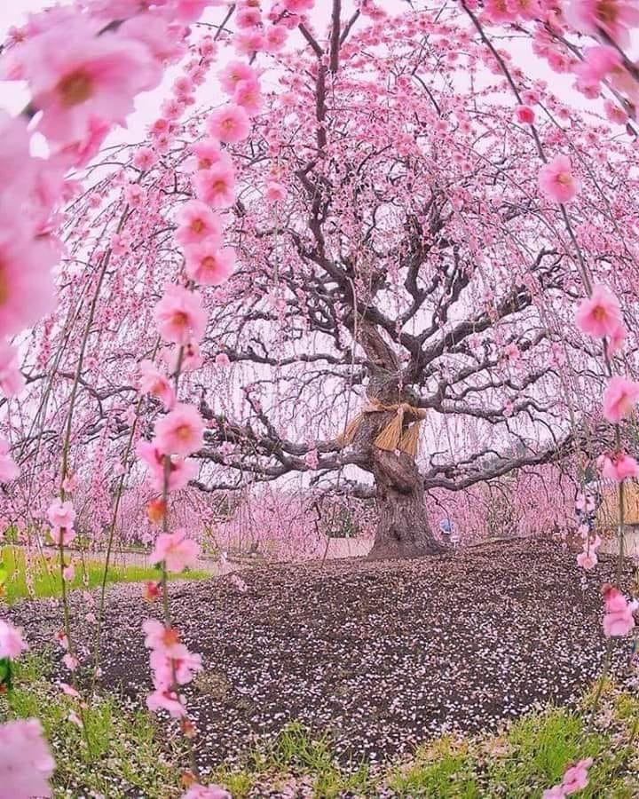Welcome To Nature On Twitter Blossom Trees Cherry Blossom Tree Sakura Tree
