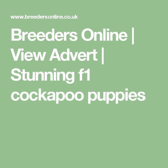 Breeders Online | View Advert | Stunning f1 cockapoo puppies