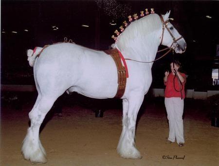 Huge White Shire - shire, horses, white, huge, draft horse