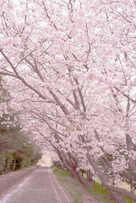 If You Re In The Fragrance Mist Lineup You May Want To Buy Up Everything You Can Now During The Start Of The Month Of Cherry Blossom Beautiful Places Scenery