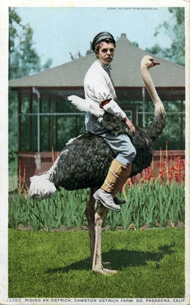 ostrich with male rider: Artists, Kiss, Summer Beaches, Quote, Coach, Big Birds, Photo, Animal,  Struthio Camelus