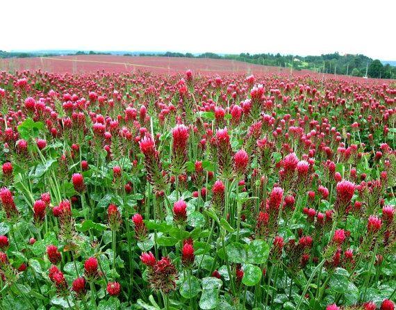 Jetzt ist die Zeit, purpurroter Klee zu Pflanzen. Es wird beleben Ihren Boden, Unkraut zu verhindern, nützliche Insekten anlocken und rosa Blüten im