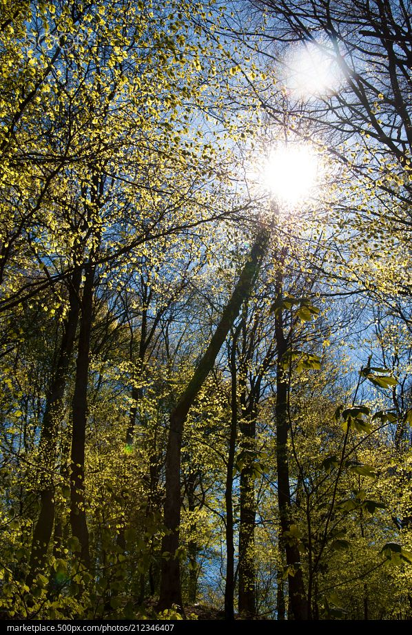 Sparkling Forest  High resolution model: https://500px.com/photo/212346407  © Rau Hartmann Galaxy  #photography #trees #leaves #sky #forest #spring #nature #blue #sun #sunlight #light #tree #beautiful #branches #green #earth
