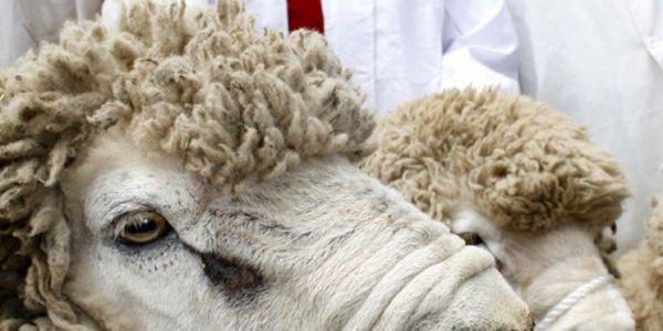Ban mulesing of Australian sheep