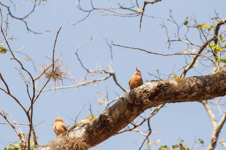 CORRUIRA O Corruira é uma ave passeriforme da família Troglodytidae. Possui diversos nomes populares, tais como: correte, maria judia (Pará), currila, cambaxirra, garrincha (Minas Gerais e Maranhão), cutipuruí (Pará, Amazonas), rouxinol (Ceará, Pernambuco e Paraíba), corruíra-de-casa, carriça, garriça, curuíra, coroíra, curreca (Santa Catarina) e carruíra (Rio Grande do Sul). Quase inconfundível, ao menos em ambientes alterados pelo homem, pois as outras espécies brasileiras da família…