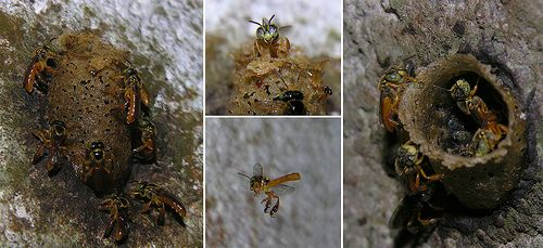 Panama Wildlife Photos: The Insects of Panama : Sweat Bees Photo