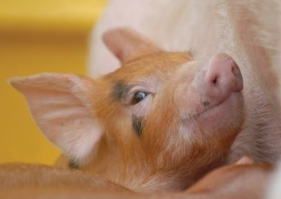 Pig #cute #piglet #postcards