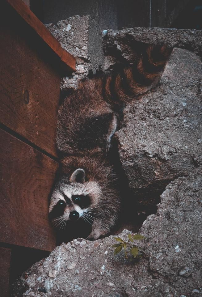 Getting Rid Of Raccoons In The Attic Location Photography Raccoon Photography