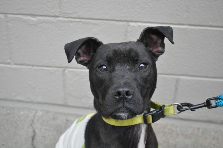 Meet Broccoli, a Petfinder adoptable Staffordshire Bull Terrier Dog | Spencer, MA | PLEASE EMAIL US DIRECTLY - info@orphanannierescue.orgIf you are interested in this dog please copy...