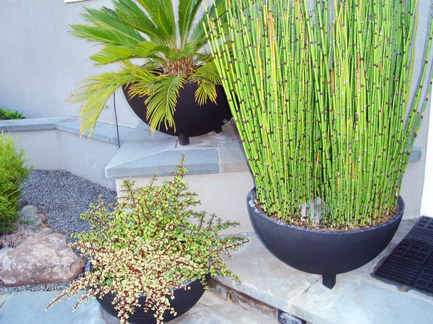 17 best images about equisetum horse tail in pot and for Planting pond plants in containers
