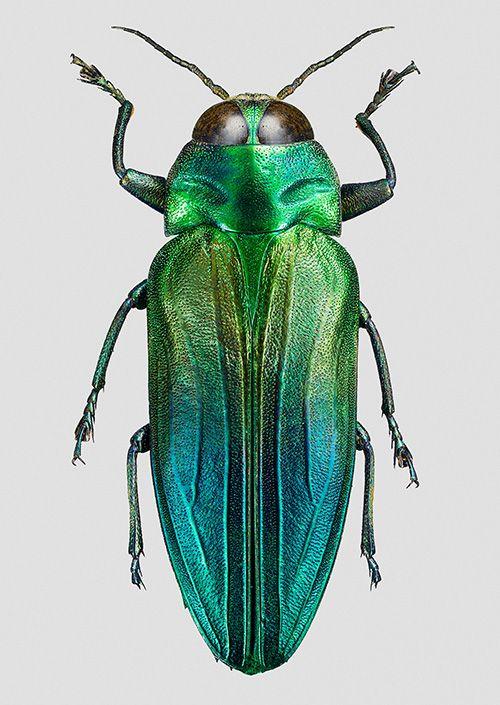 sugejobber de beste cicada