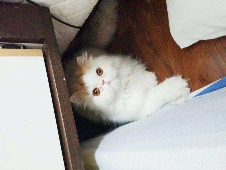 gato persa en venta por cierre de criadero