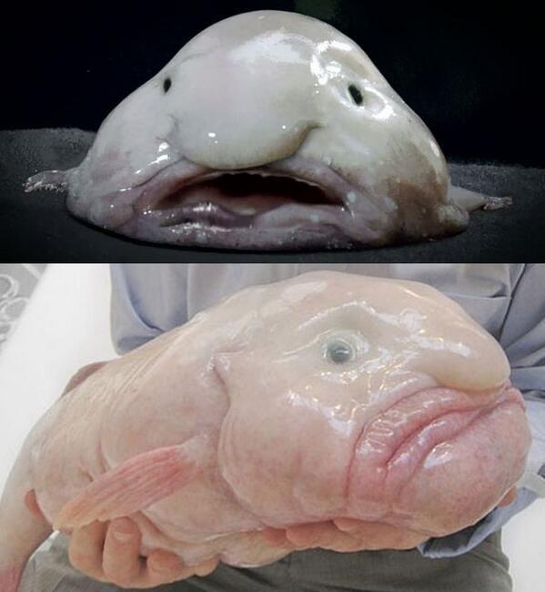 深海魚「ブロブフィッシュ」を「世界で最も醜い動物」に認定した事を以前にお伝えしたが、これがそのブロブフィッシュを横から見た図である。「横から見てもやっぱり醜い動物」の称号も与えていいかと思う。 pic.twitter.com/Qs7A4bKVwB