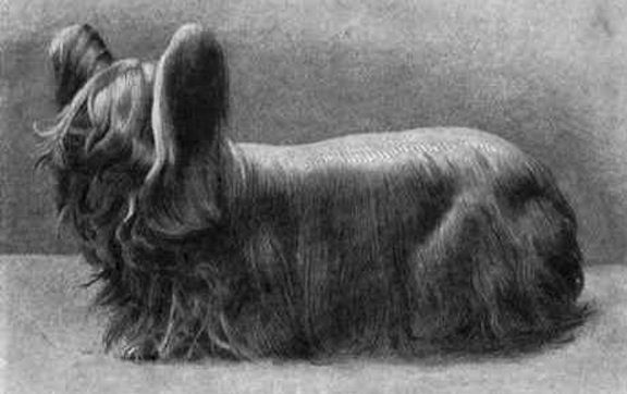 Paisley Terrier, an extinct dog breed from the UK