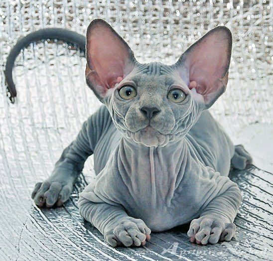 Ugly Birthday Cat: 9 Best Sphynx Memes Images On Pinterest