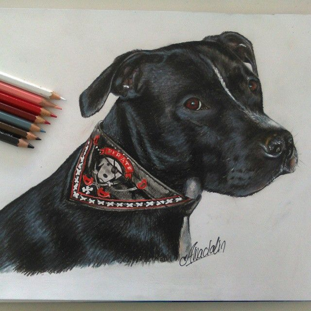 first portrait of my best...pitbull Attila colored pencil on A4 sheet