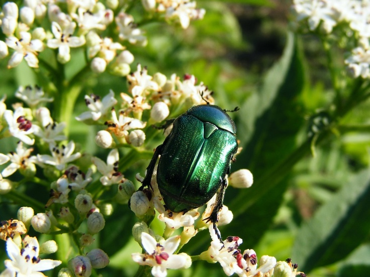 Green June Beetle - Public Domain Photos, Free Images for Commercial Use