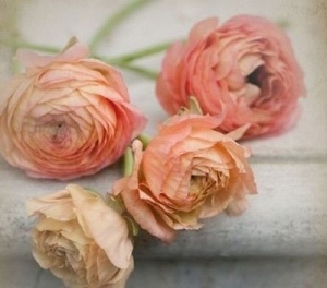 peach,coral by alissa: Favorite Flowers, Color, Wedding Ideas, Beautiful, Wedding Flowers, Peach Ranunculus, Peaches, Garden, Floral