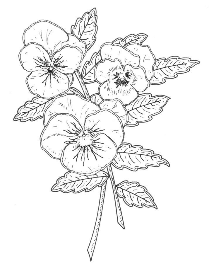 pansy flower drawing - photo #8
