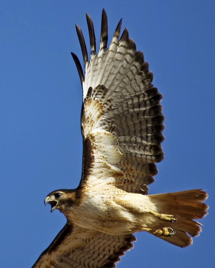 Desert Hawk Animal Best 25+ Arizona birds...