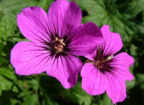Image result for geranium patricia
