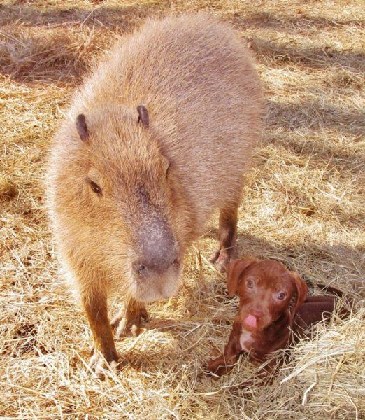 A Capybara and Puppy - Unlikely Friendships