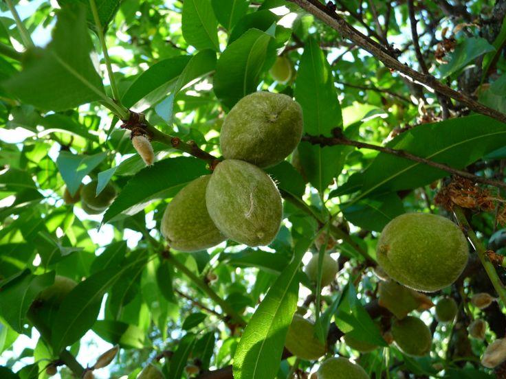 Unripe Almonds on the Almond tree [Prunus amygdalus]