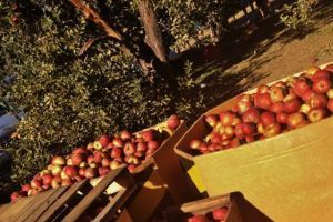 va apple picking spots