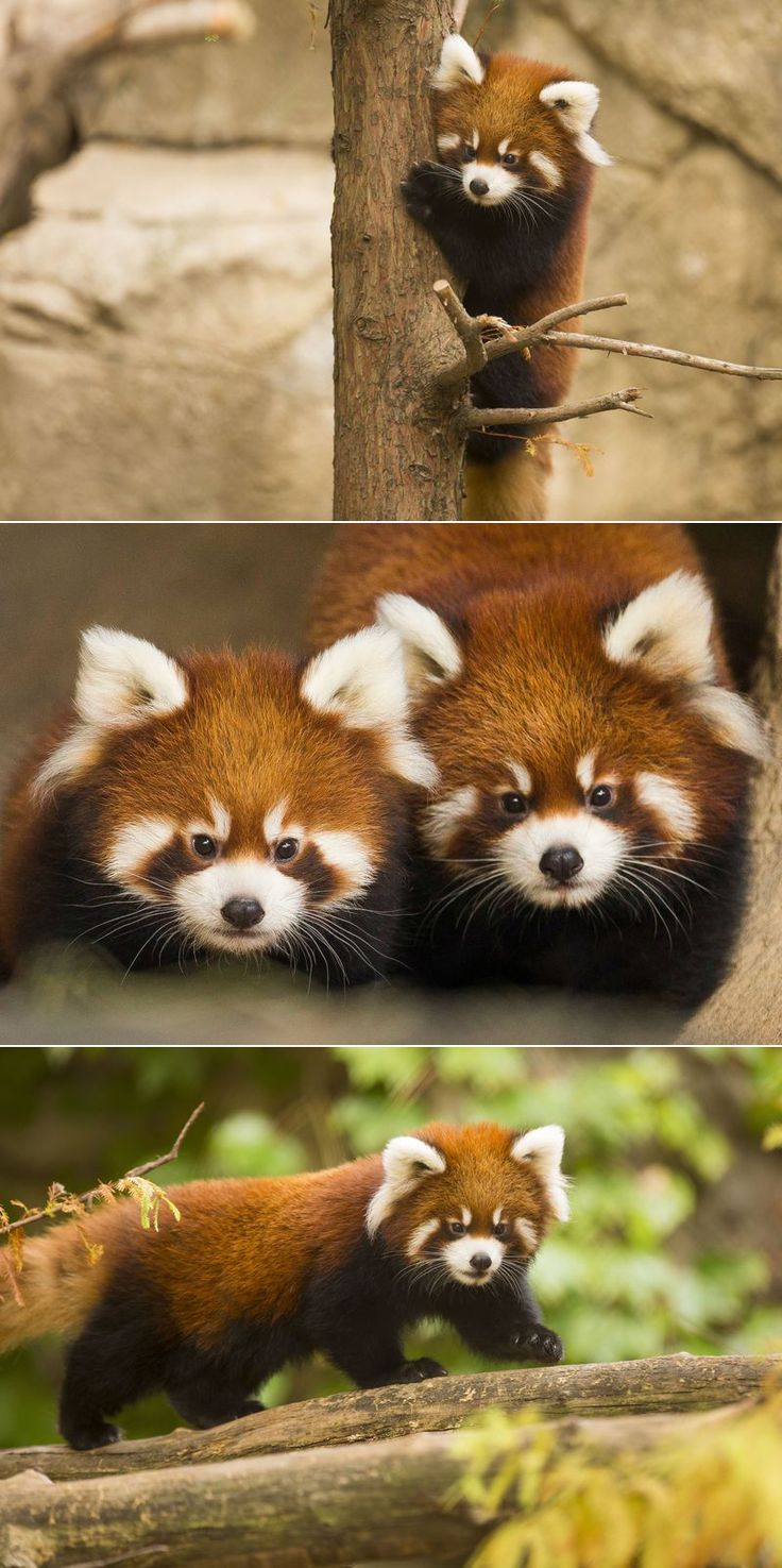 Meet The Fluffiest Cubs In Chicago!! After growing in size and strength, Lincoln Park Zoo's first-ever Red Panda cubs Clark, a male, and Addison, a female, are now in their outdoor exhibit!