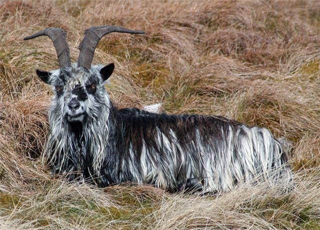 #british #primitive #goat   possibly  a wool  source?