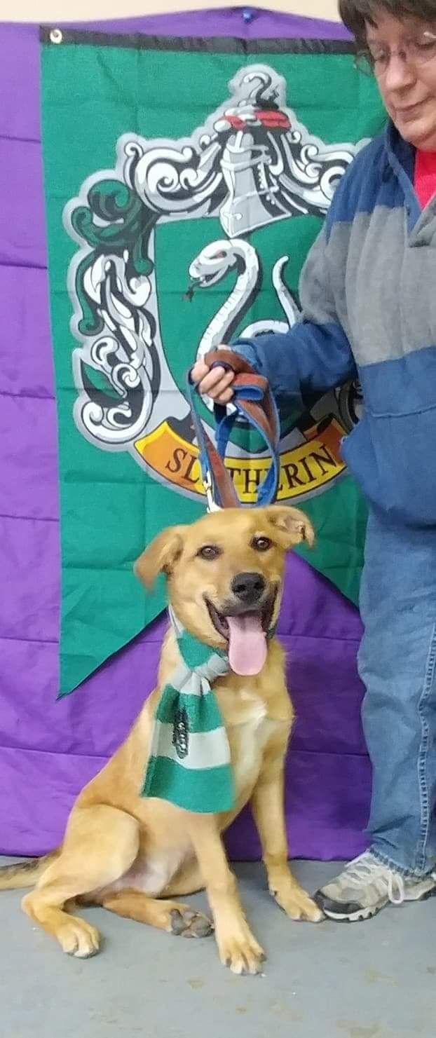 Golden Shepherd dog for Adoption in Trenton, MO. ADN-715635 on PuppyFinder.com Gender: Male. Age: Young