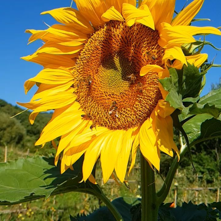 35 best images about tuscan flower arrangements on.htm poderaccio organic agritourism  tuscany we love sunflowers in our  poderaccio organic agritourism  tuscany